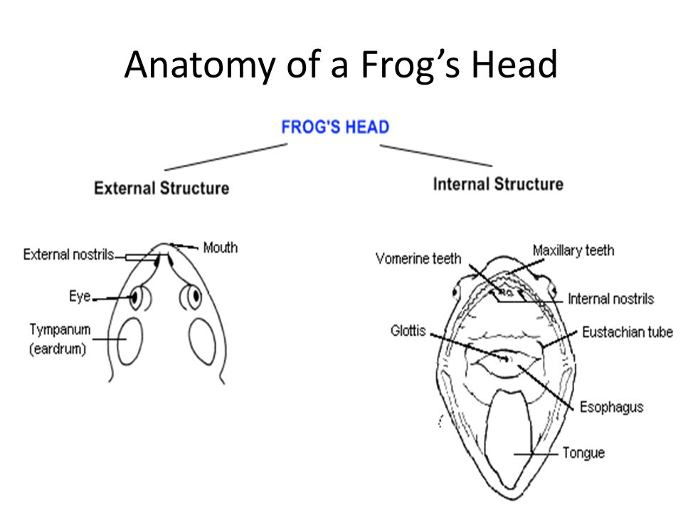 Frog Structure And Function Diagram Electrical Work Wiring Diagram
