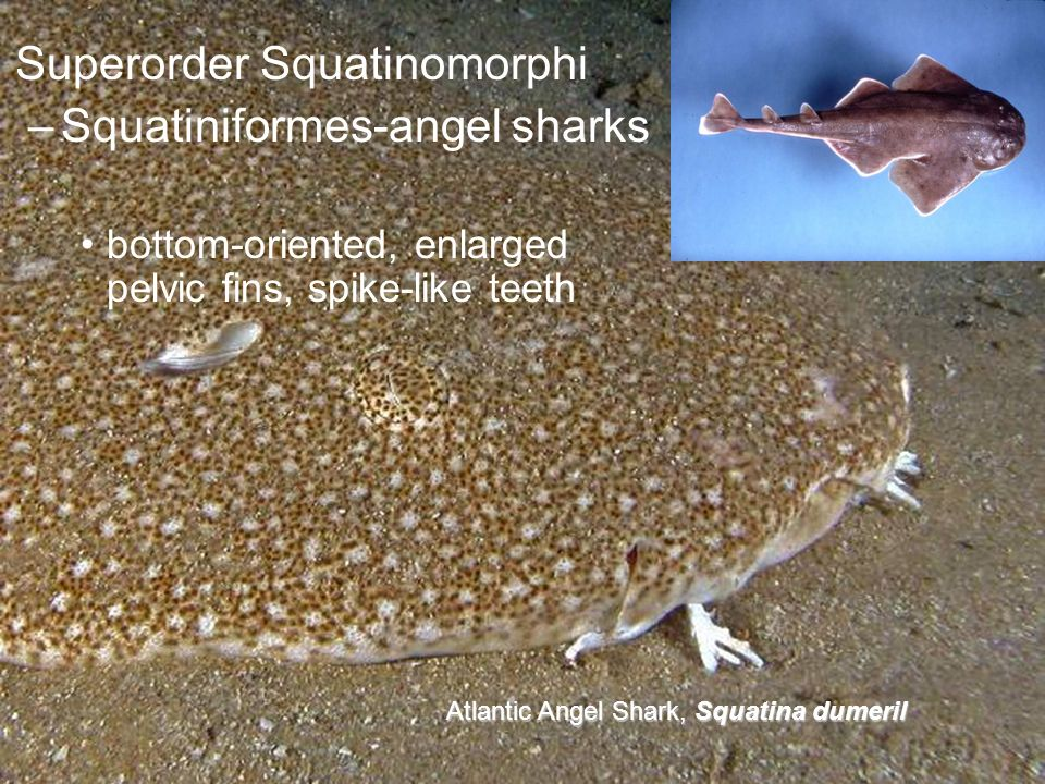Superorder Squatinomorphi Squatiniformes-angel sharks