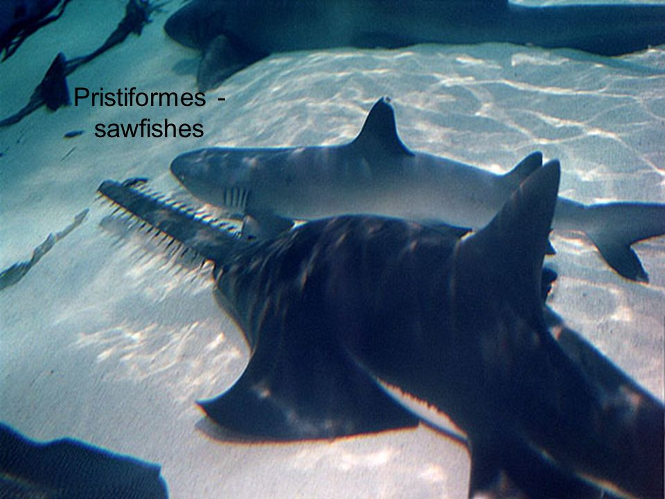 Pristiformes - sawfishes