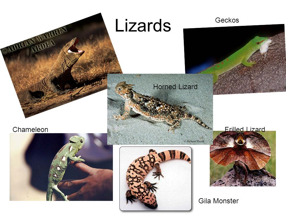 Lizards Geckos Komodo Dragon Horned Lizard Chameleon Frilled Lizard