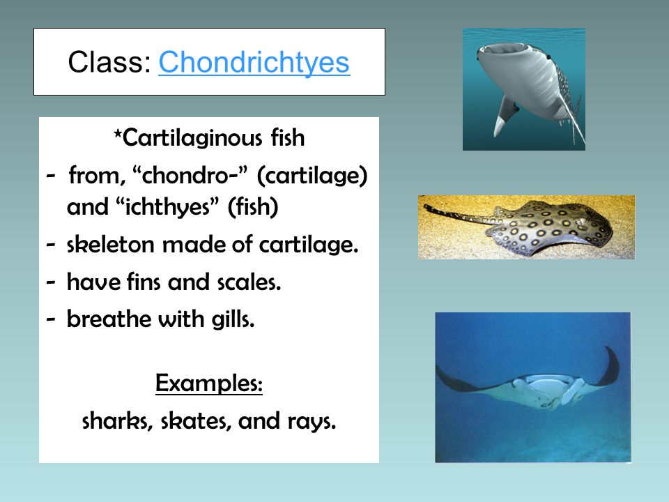Class: Chondrichtyes *Cartilaginous fish