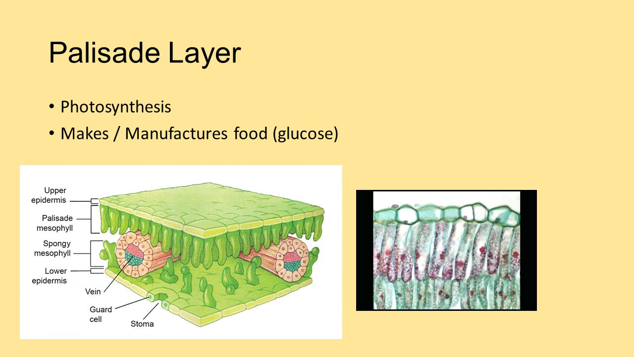 Palisade Layer Photosynthesis Makes / Manufactures food (glucose)