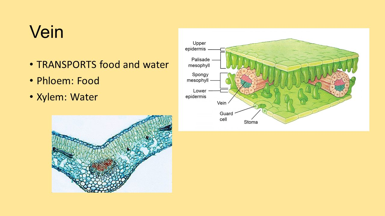 Vein TRANSPORTS food and water Phloem: Food Xylem: Water