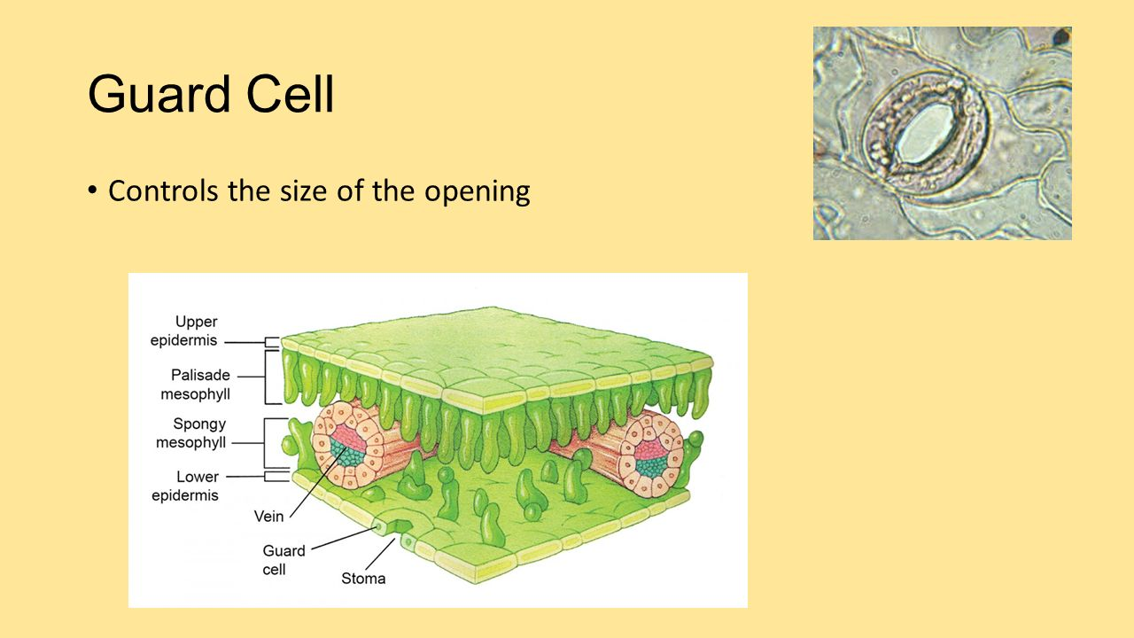 Guard Cell Controls the size of the opening