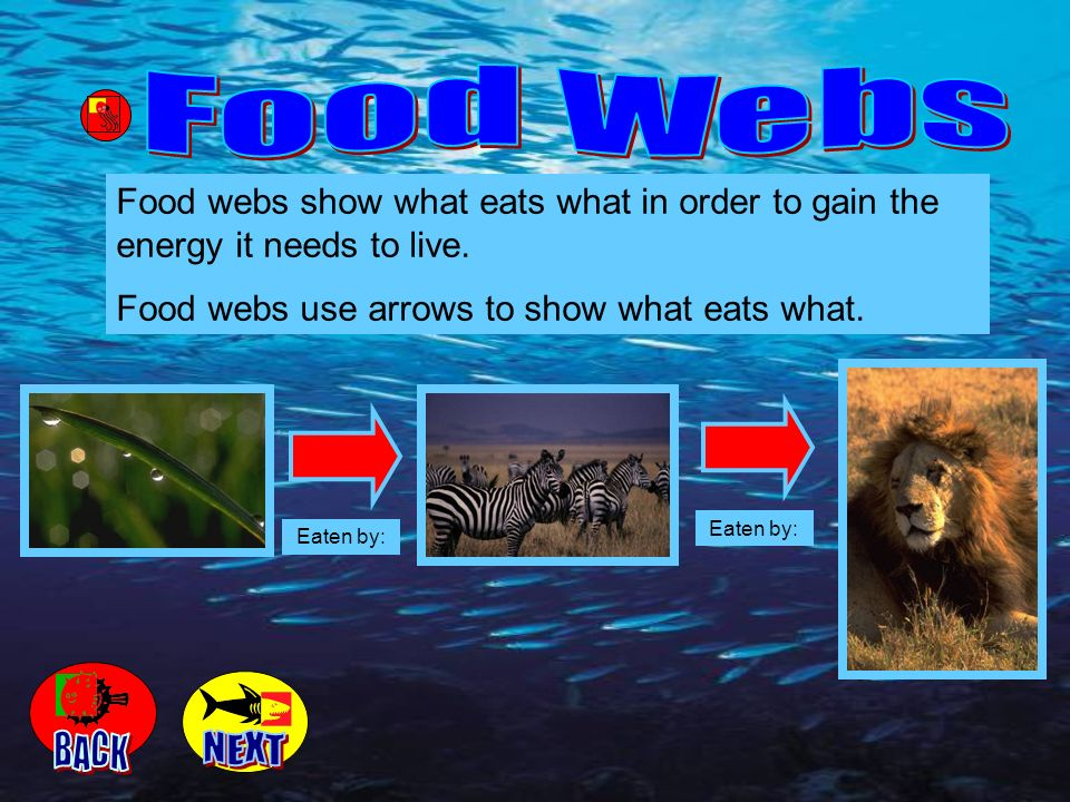 Food Webs Food webs show what eats what in order to gain the energy it needs to live. Food webs use arrows to show what eats what.