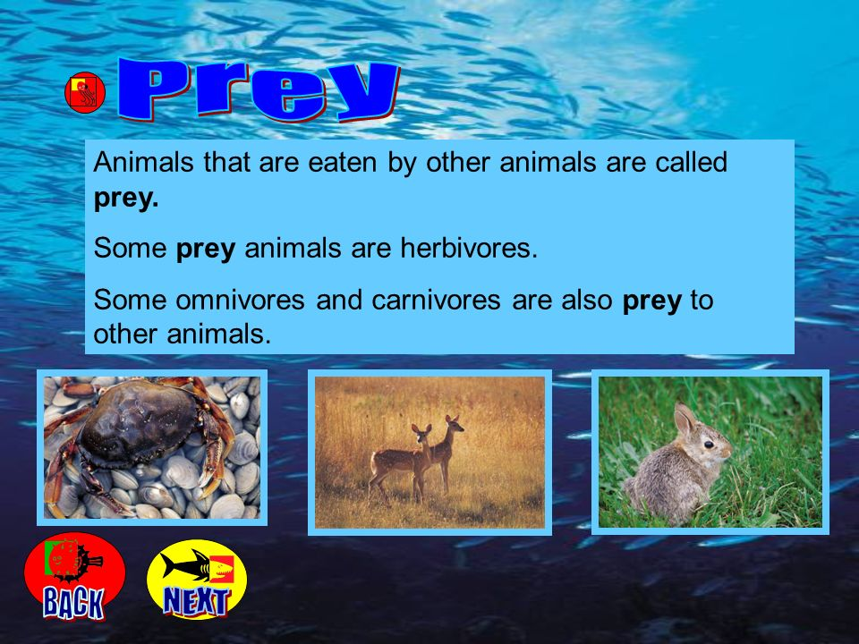 Prey Animals that are eaten by other animals are called prey. Some prey animals are herbivores.