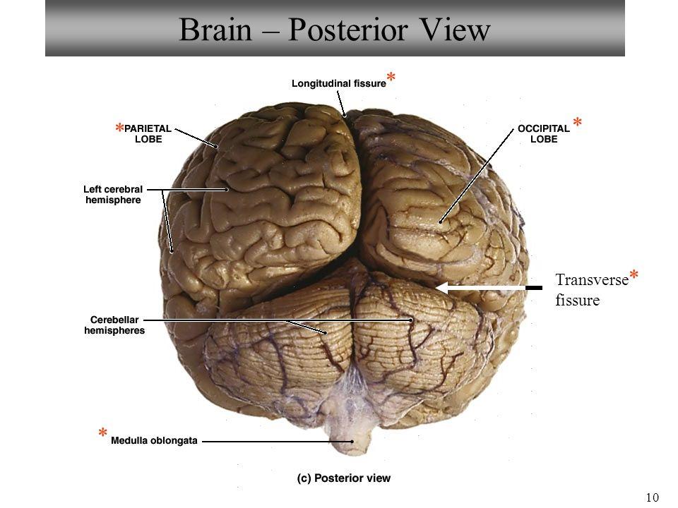 Transverse Brain Structures Diagram Electrical Work Wiring Diagram