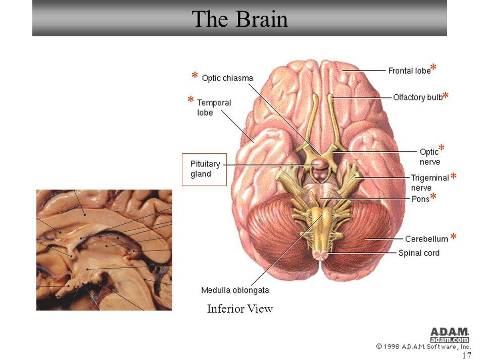 Neuron/Spinal Cord Histology Brain Anatomy Sheep Brain Dissection ...