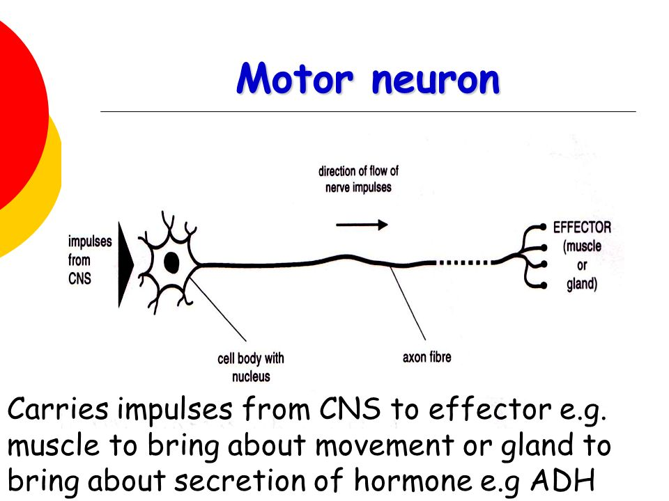 Motor neuron Carries impulses from CNS to effector e.g.