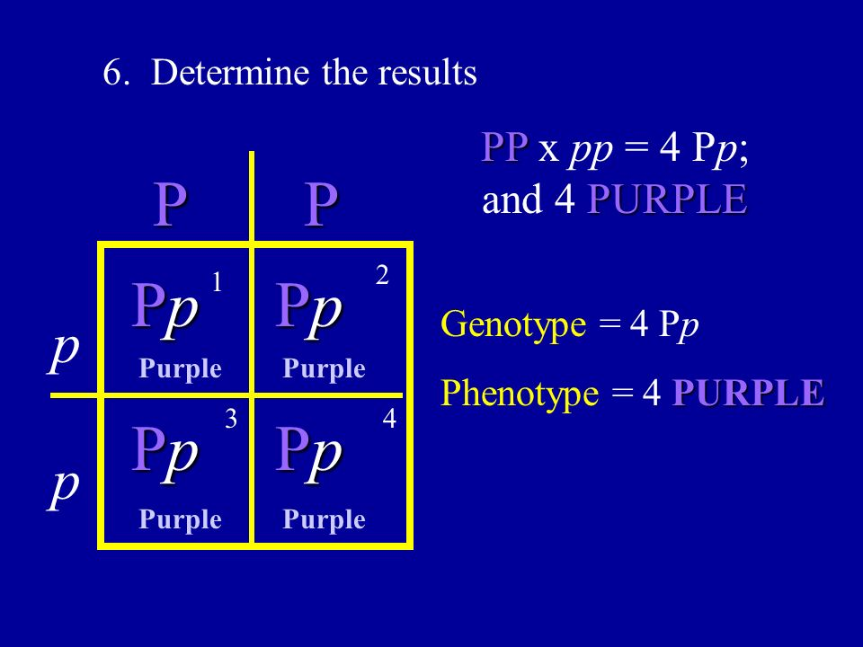 P P Pp Pp Pp Pp p p PP x pp = 4 Pp; and 4 PURPLE