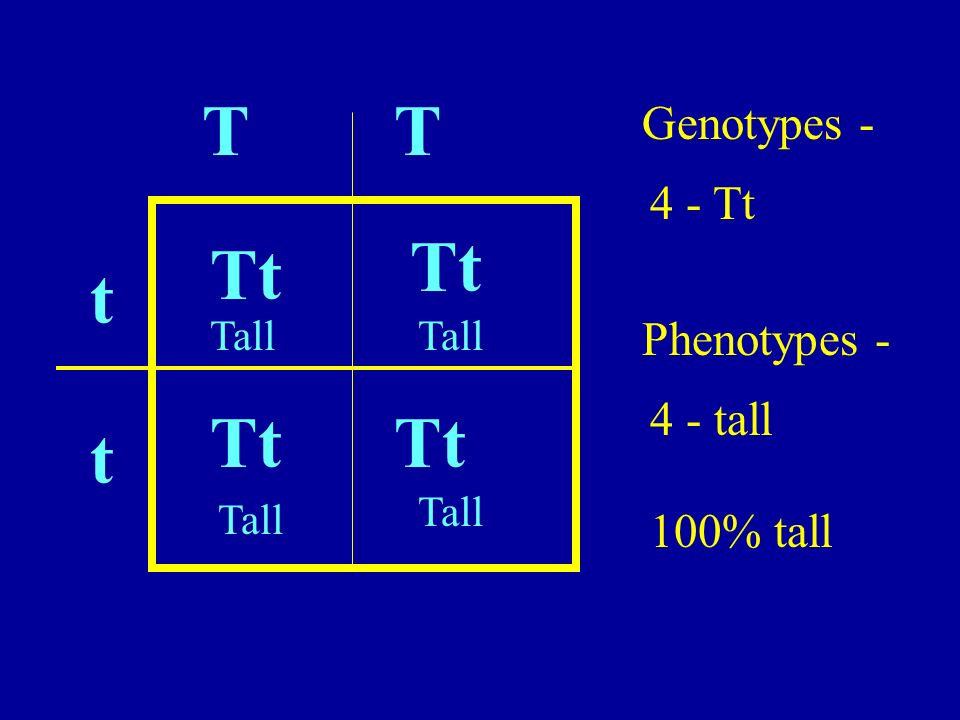 T T Tt Tt t Tt Tt t Genotypes - 4 - Tt Phenotypes - 4 - tall 100% tall