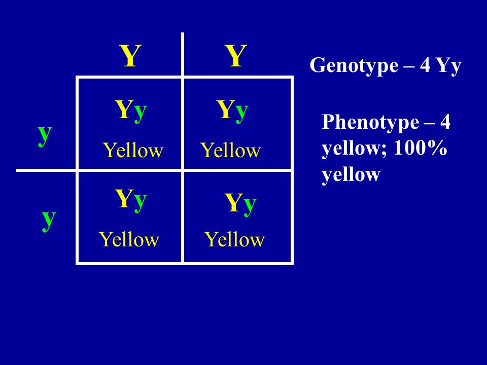 Y Y y y Yy Yy Yy Yy Genotype – 4 Yy Phenotype – 4 yellow; 100% yellow