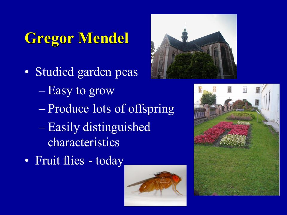 Gregor Mendel Studied garden peas Easy to grow