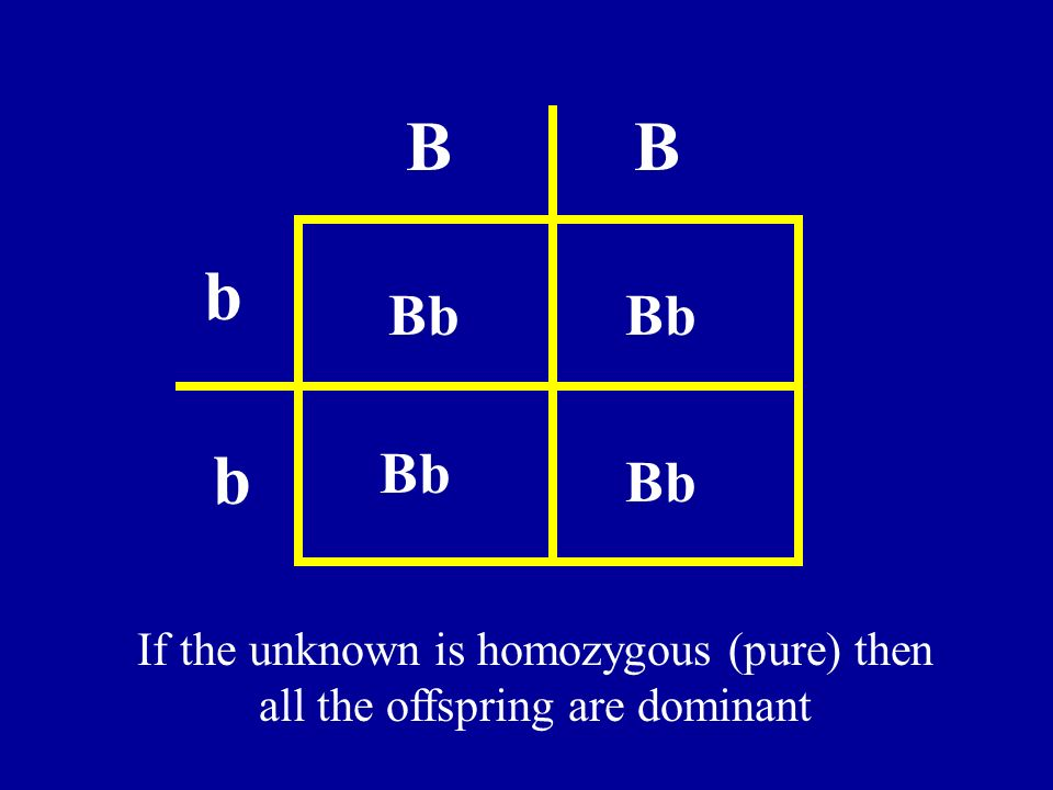 B B b Bb Bb b Bb Bb If the unknown is homozygous (pure) then all the offspring are dominant