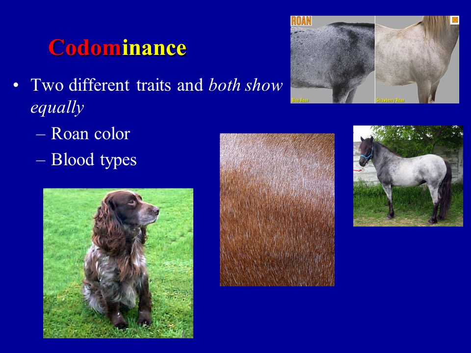 Codominance Two different traits and both show equally Roan color