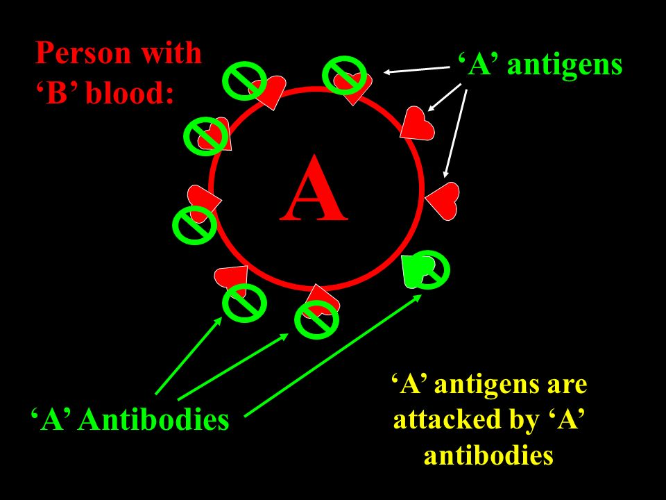 'A' antigens are attacked by 'A' antibodies