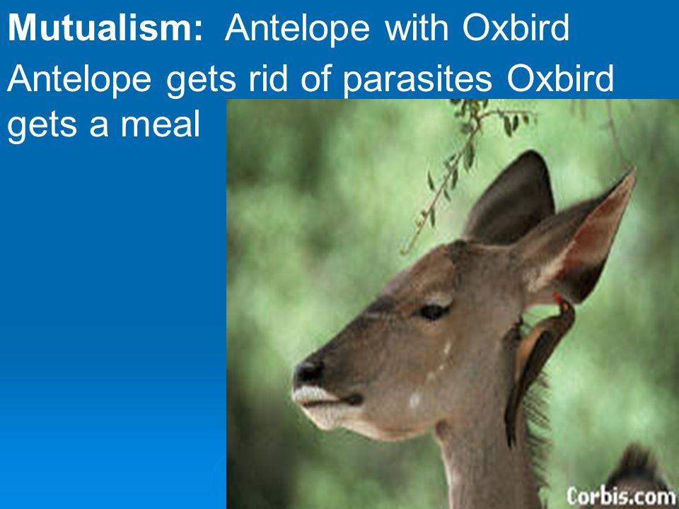 oxbird and antelope relationship marketing