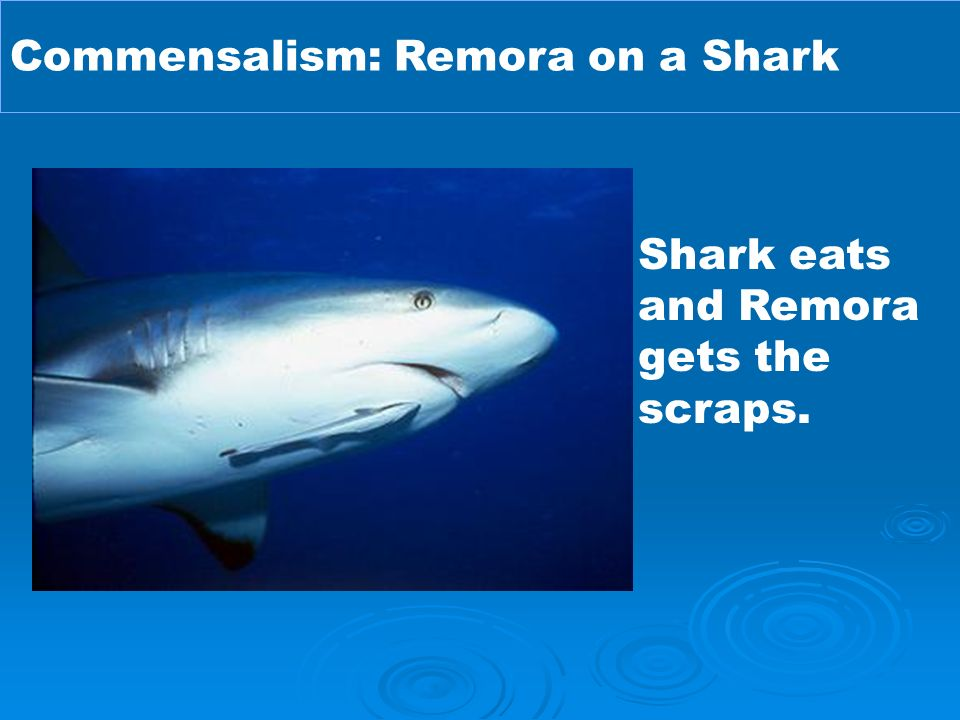 what is the relationship between remora and shark