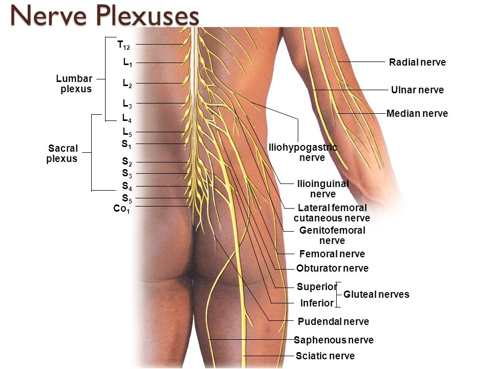 The Nervous System Ii The Spinal Cord Spinal Nerves And Reflexes