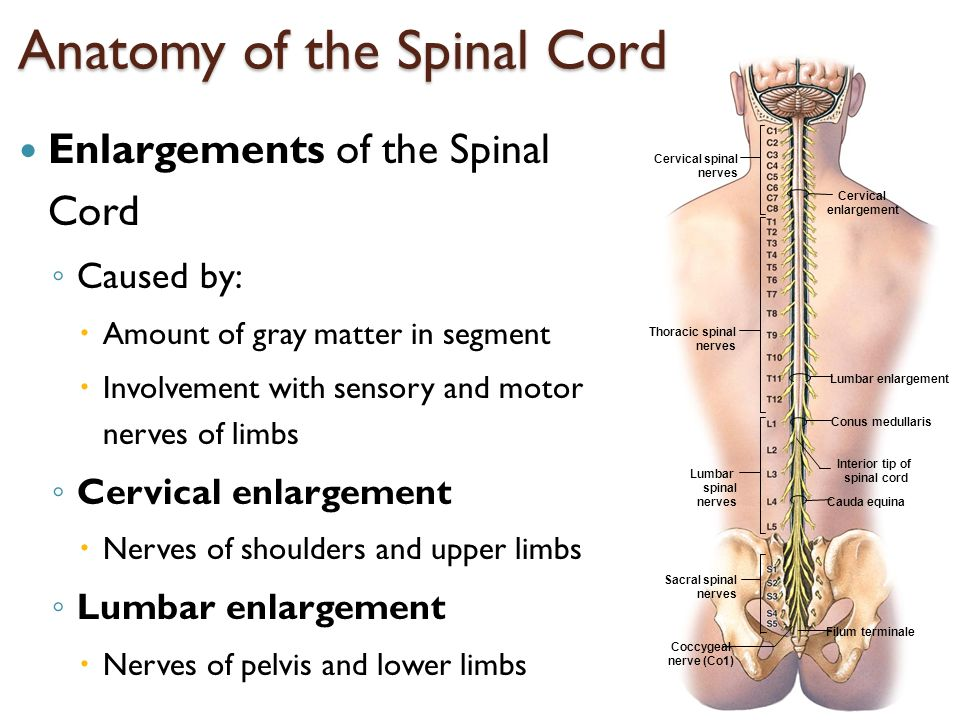 The Nervous System II: The Spinal Cord, Spinal Nerves and Reflexes ...