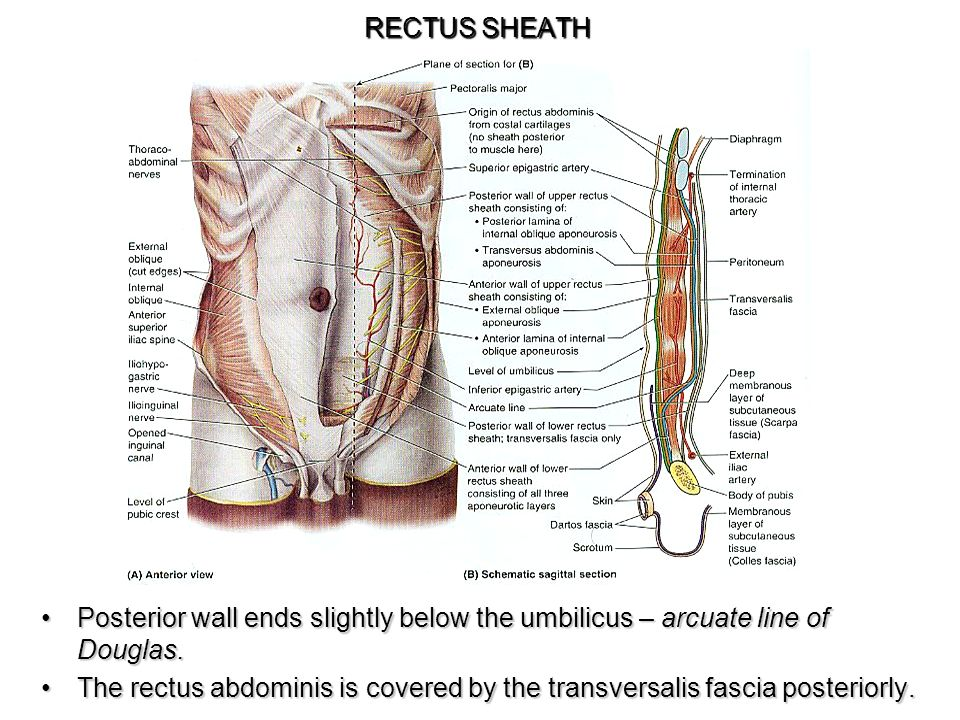 STUDY OF HUMAN ANATOMY. - ppt video online download