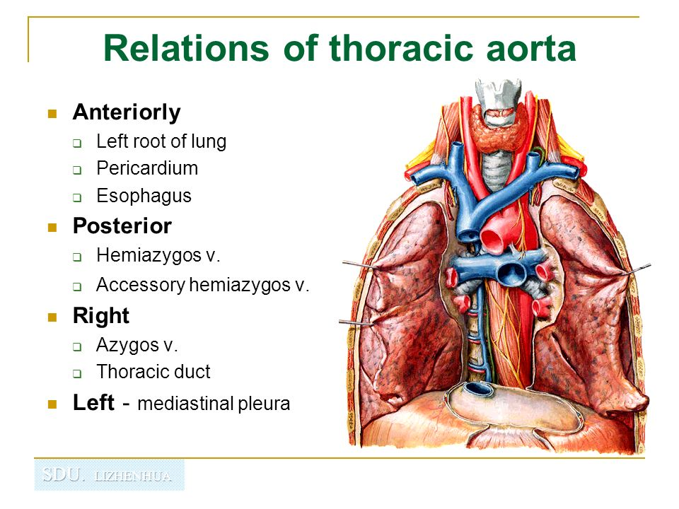 Regional anatomy of thorax - ppt video online download