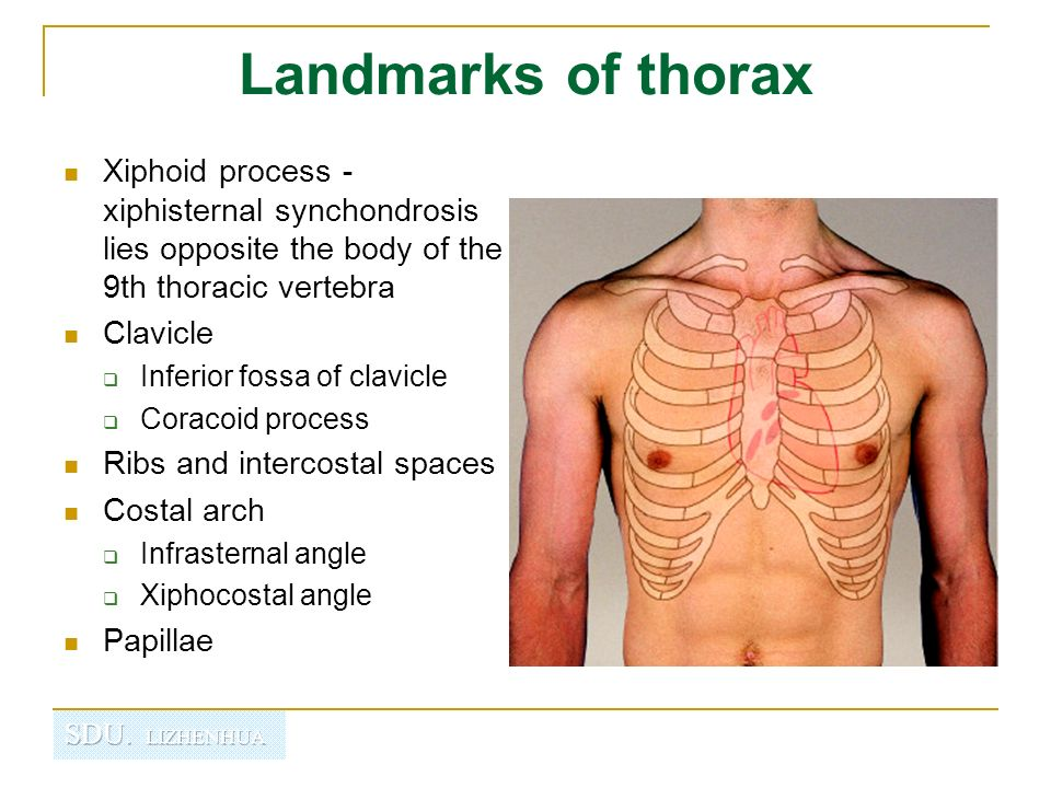 Regional Anatomy Of Thorax Ppt Video Online Download