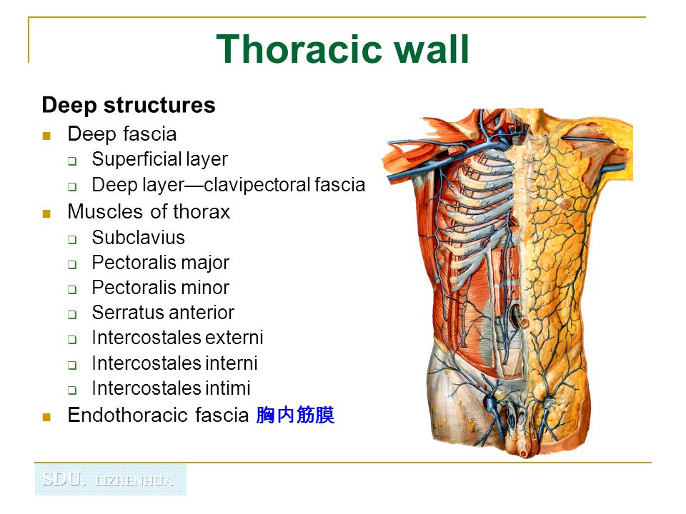 Regional Anatomy Of Thorax Ppt Video Online Download