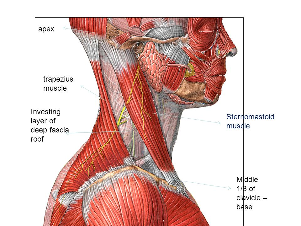 POSTERIOR & ANTERIOR TRIANGLE OF NECK - ppt video online download