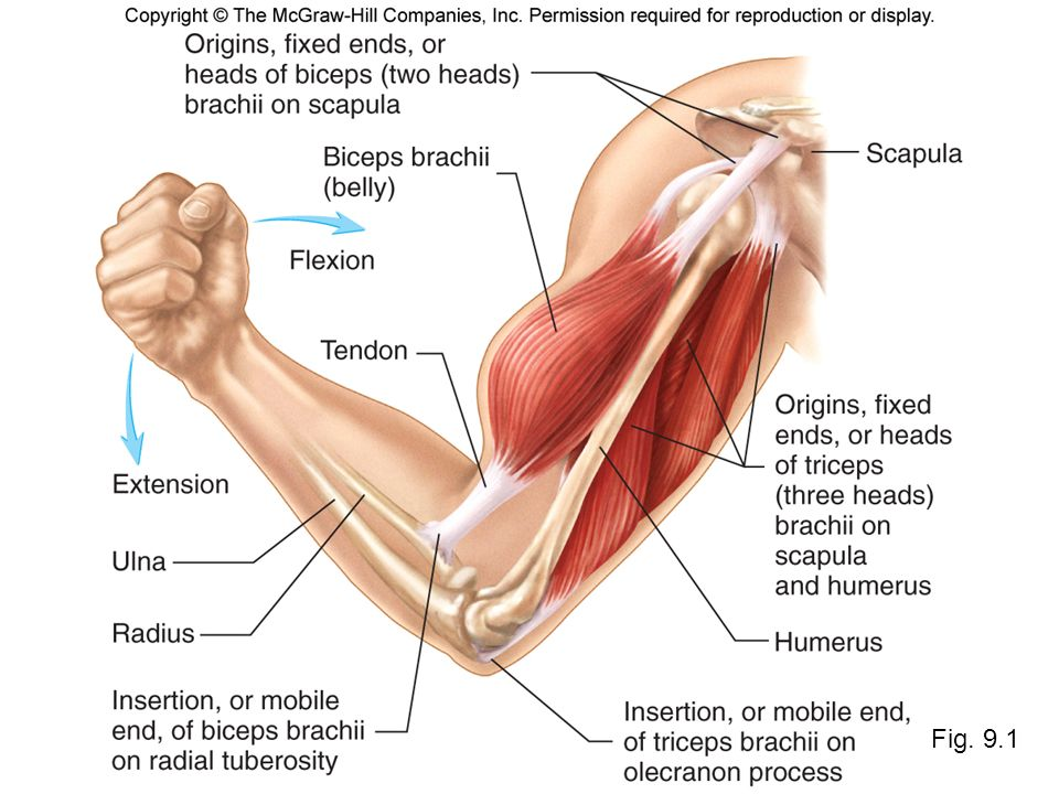 Famous Tricep Anatomy & Function Ornament - Human Anatomy Images ...