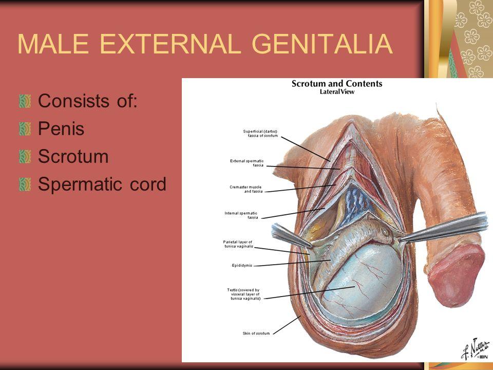 Male External Genitalia Diagram - Illustration Of Wiring Diagram •