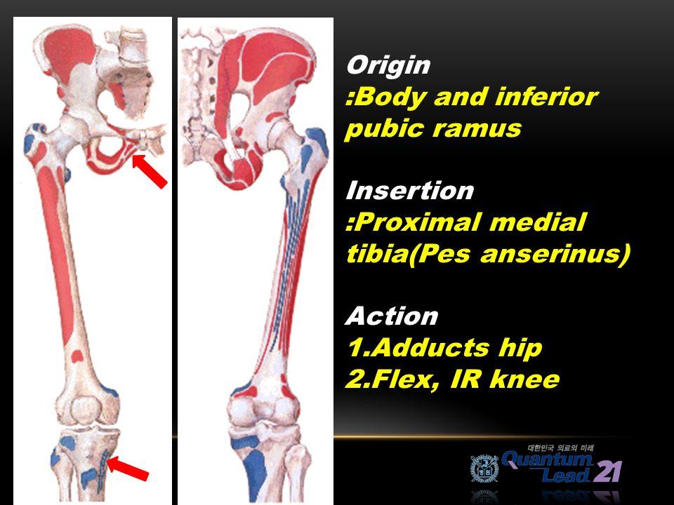 Old Fashioned Pes Anserine Anatomy Festooning Anatomy And