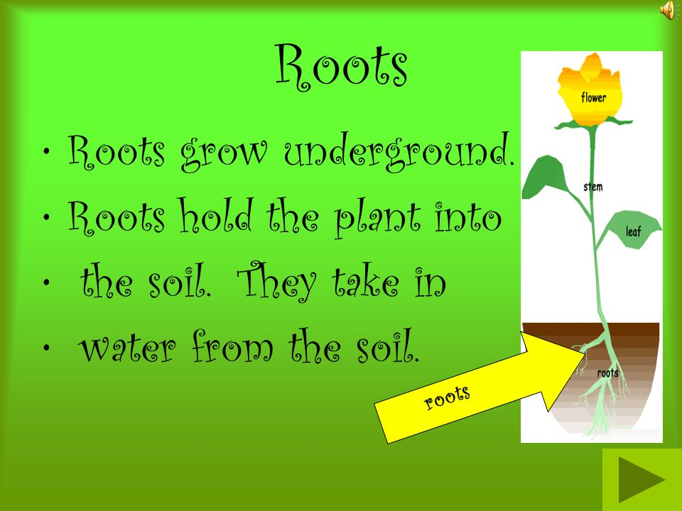 Roots Roots grow underground. Roots hold the plant into