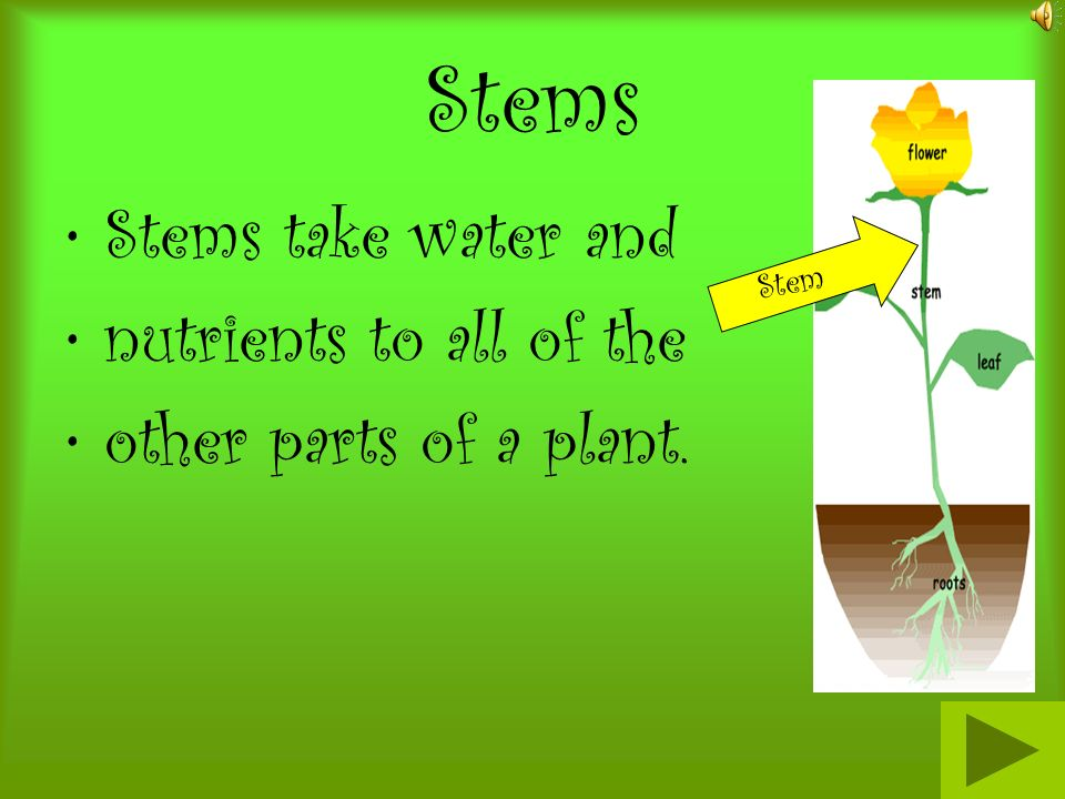 Stems Stems take water and nutrients to all of the