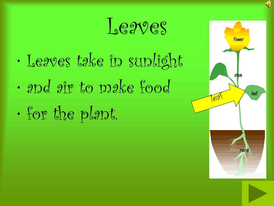 Leaves Leaves take in sunlight and air to make food for the plant.