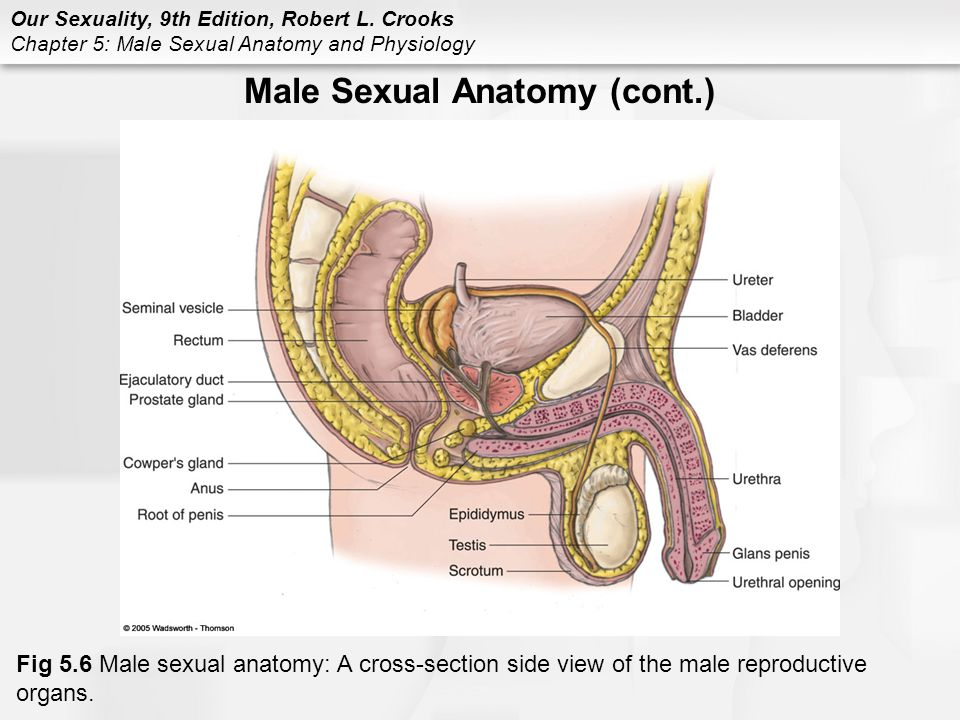 Chapter 5 Male Sexual Anatomy and Physiology - ppt video online download