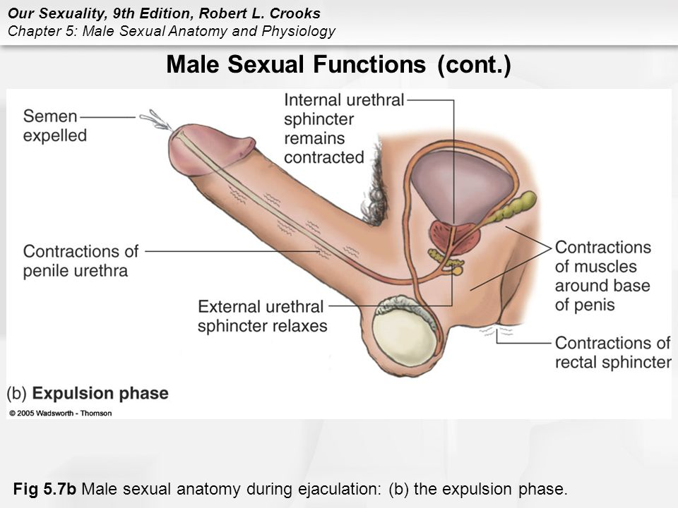 Chapter 5 Male Sexual Anatomy And Physiology Ppt Video Online Download