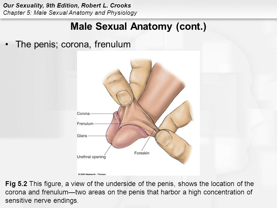 Frenum Male Genitals Diagram - Data Wiring Diagrams •
