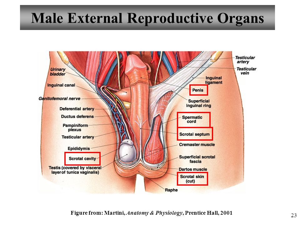 Colorful Anatomy And Physiology Of Male Reproductive System Ppt ...
