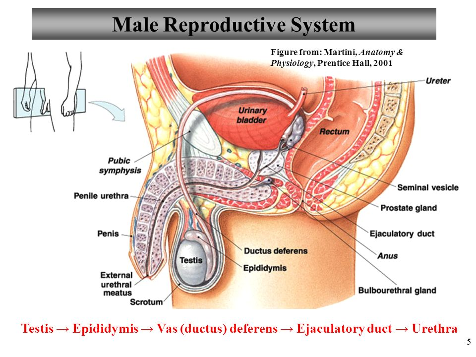 Chapter 27 Male Reproductive System Lecture Ppt Video Online Download