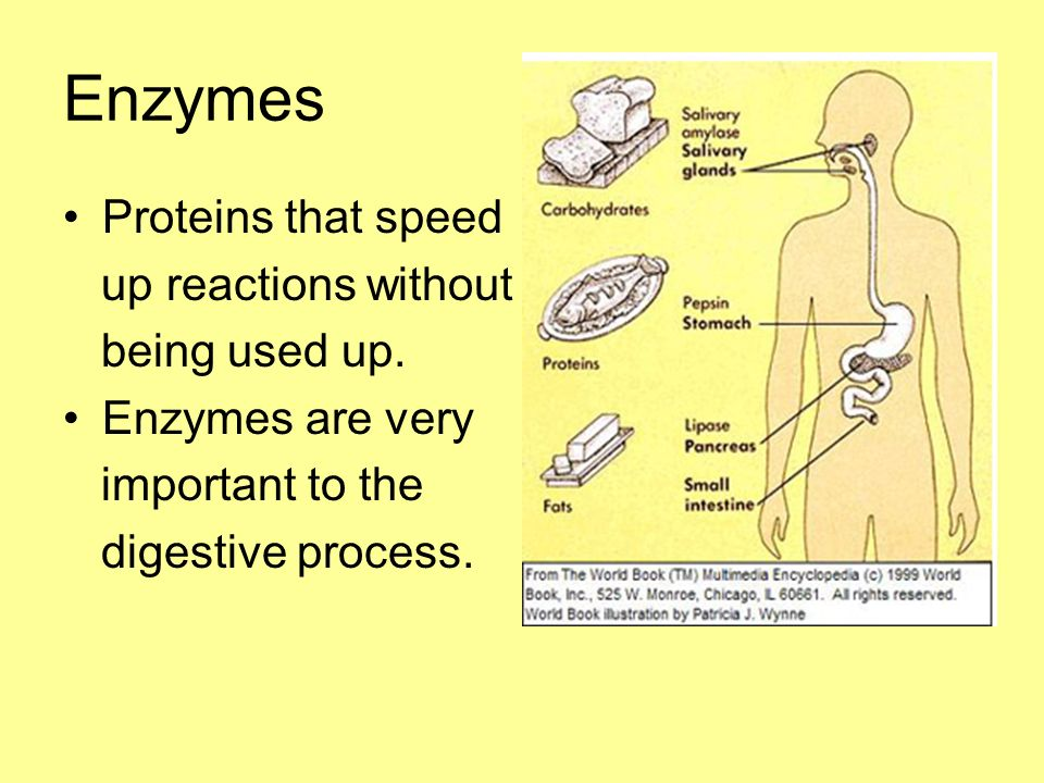 Enzymes Proteins that speed up reactions without being used up.