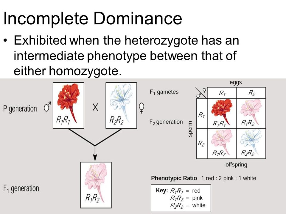 Incomplete Dominance Exhibited when the heterozygote has an intermediate phenotype between that of either homozygote.