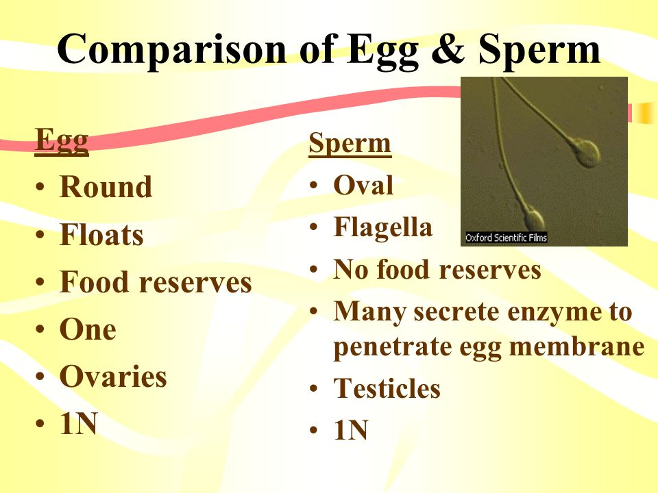 Comparison of Egg & Sperm