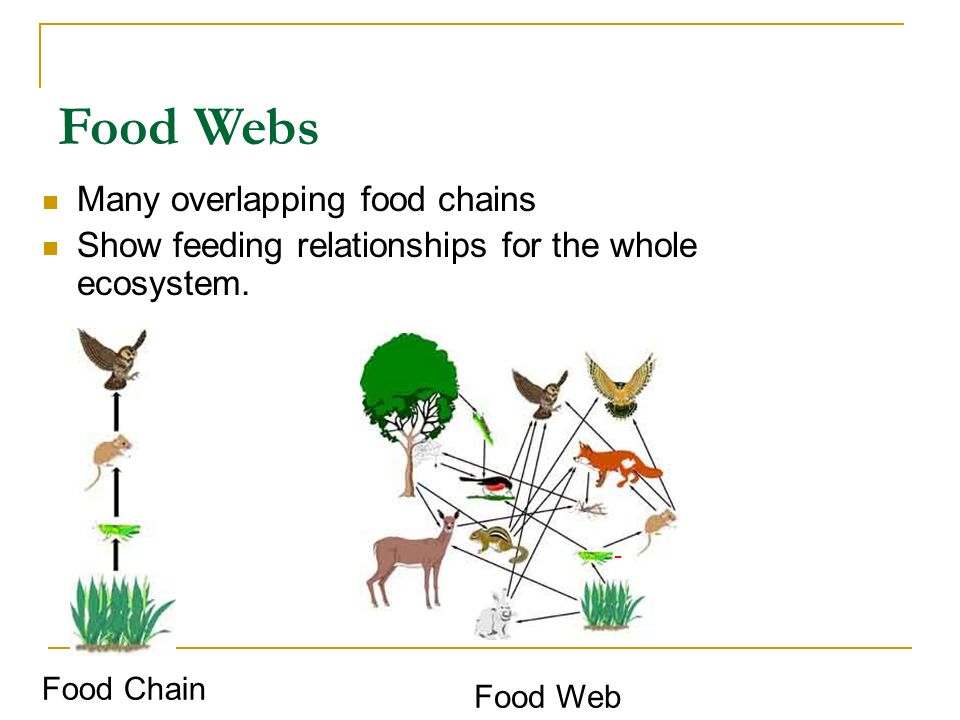 Food Webs Many overlapping food chains