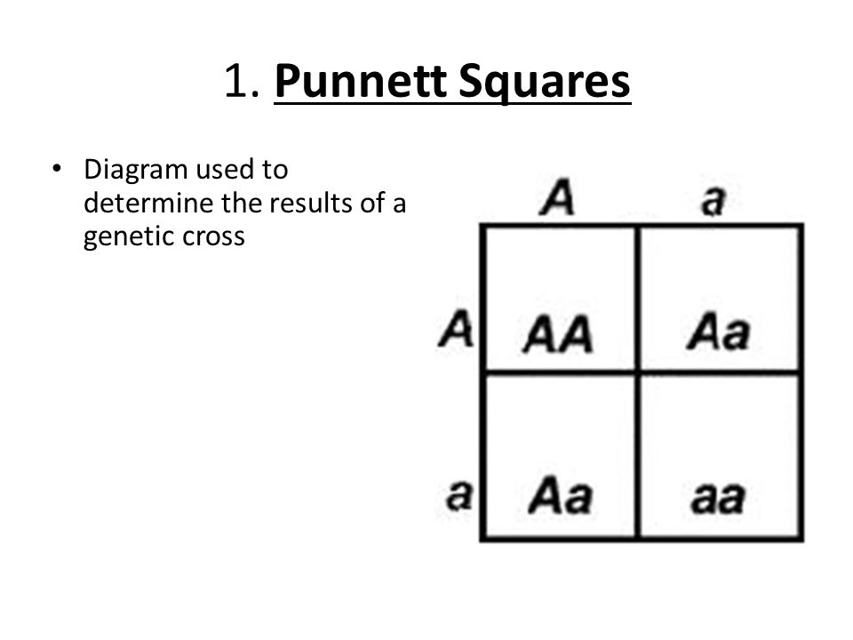 11 2 probability and punnett squares ppt video online download rh slideplayer com Blank Punnett Square Diagram Fillable Punnett Square