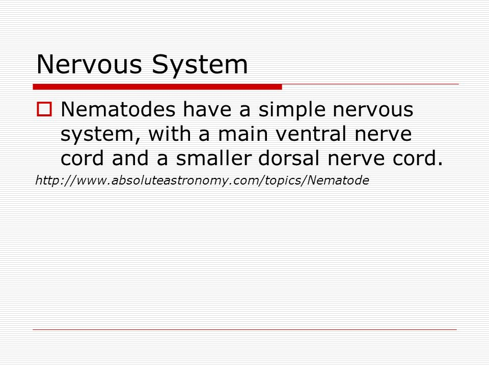 Nervous System Nematodes have a simple nervous system, with a main ventral nerve cord and a smaller dorsal nerve cord.