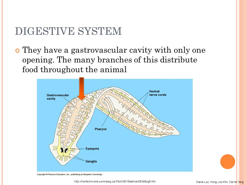 DIGESTIVE SYSTEM They have a gastrovascular cavity with only one opening. The many branches of this distribute food throughout the animal.