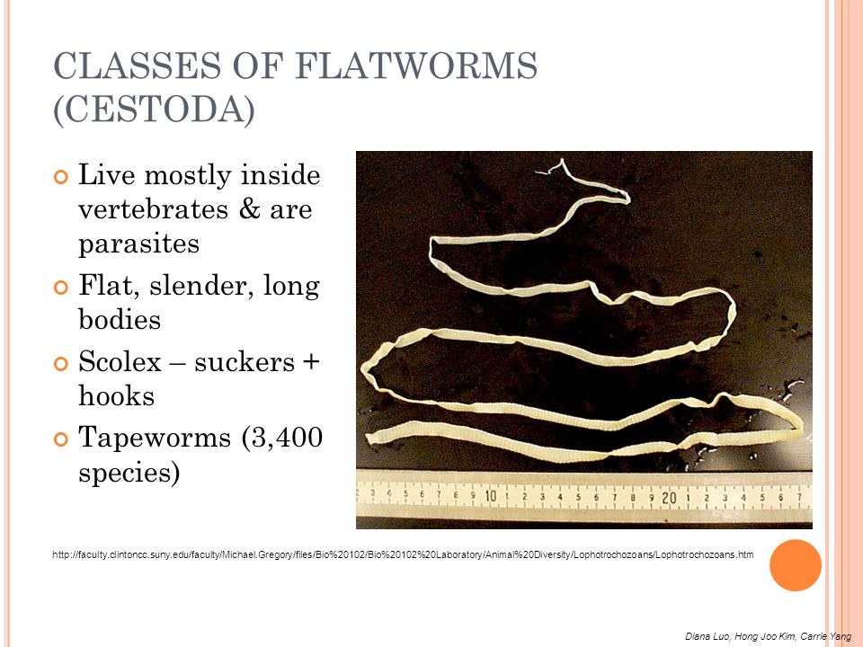 CLASSES OF FLATWORMS (CESTODA)