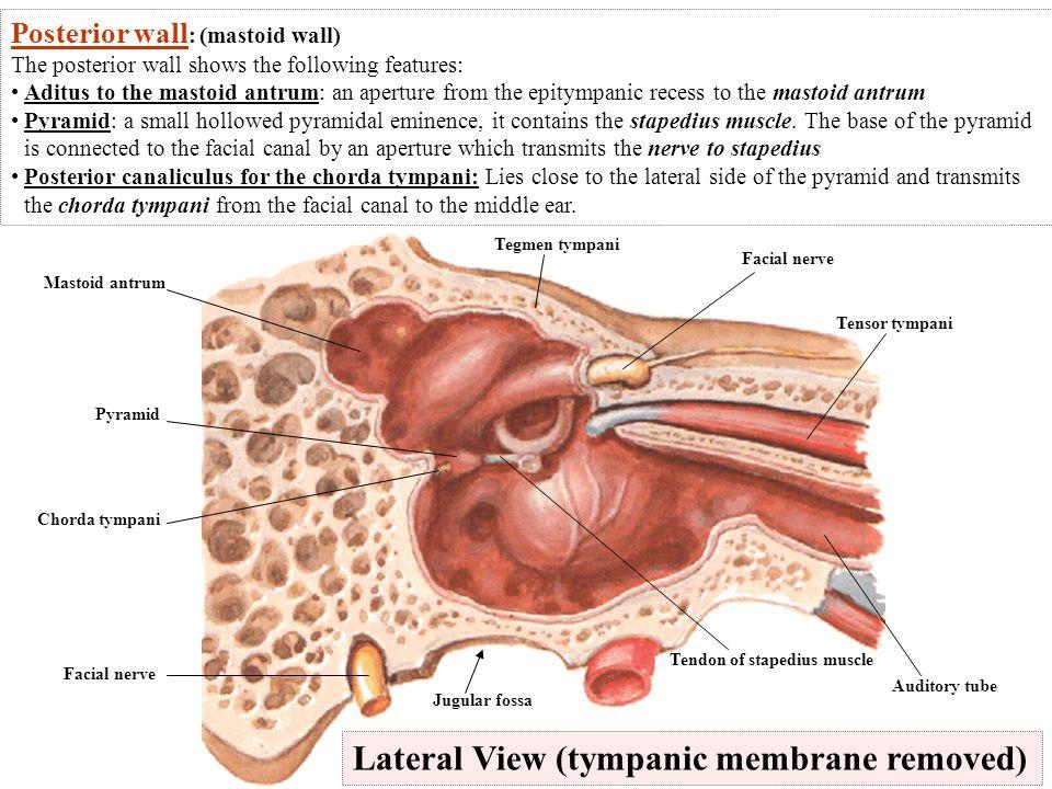 Stapedius muscle