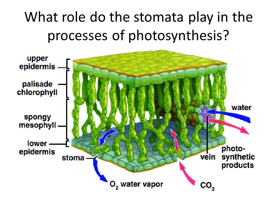 What role do the stomata play in the processes of photosynthesis